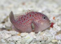 گوژپشت ماهی مرجانی خال دار (Spottedcoral Croucher)