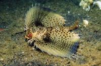 خار ماهی کلاه خودی (Commonhelmet Gurnard)
