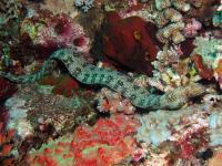 مار ماهی مورای دانه برفی(Snowflake Moray)