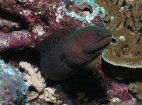 مار ماهی مورای غول پیکر (Giant Moray)