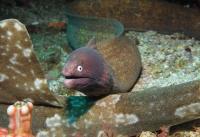 مار ماهی مورای چشم سفید (White-eye Moray)