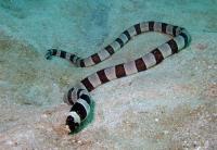 مار ماهی نواری بدون فلس (Banded Snake Eel)