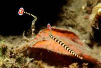 لوله ماهی نواری (Banded Pipefish)