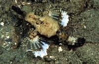 اژدها ماهی کوچولو (Little dragonfish)