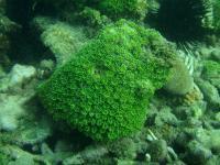مرجان کریستال آستریاتا (Astreata crystal)