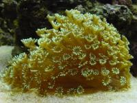 مرجان لیمویی گل ستاره ای (Stokesi lemon coral)