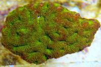 مرجان کنگر تیغی (Echinata artichoke)