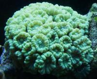 پلیپ خمیده (Curvata polyp)