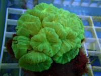 پلیپ خمیده متالیک (Curvata polyp crl. metallic)