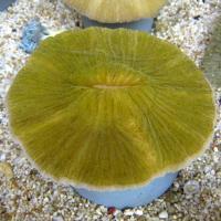 مرجان قارچی (Mushroom crl. green)