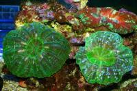 مرجان دونات لاکریمالیس (Lacrymalis donat crl. metalic)