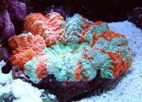 مرجان دونات دشایِسیا نای (Deshayesiana donat crl. multi)