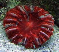 مرجان دونات دشایسیا نای (Deshayesiana donat crl. multi)