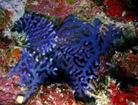 مرجان ارغوانی (Purple)