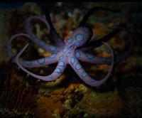 اُختاپوس آتشین (fire octopus)