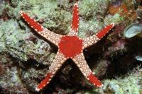 ستاره قرمز (Red Star)