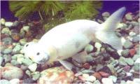 گلدفیش بهشتی سفید (White Celestial)