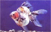 گلدفیش دم بادبزنی کالیکو (Calico Fantail)