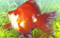 گلدفیش دم بادبزنی سفید و قرمز (Red & White Fantail)