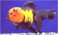 گلدفیش سر ژله ای قرمز و مشکی ( Black&Red Jelly head goldfish)