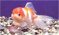 گلدفیش سر ژله ای سفید و قرمز (Red & white Jelly head goldfish)
