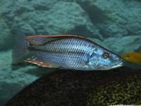 سیچلاید کوپر سیسپِز هاپلوکرومیس ( Haplochromis Compressiceps)