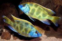 سیچلاید وِنوستوس هاپلوکرومیس ( Haplochromis Venustus)