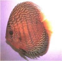 دیسکاس خال دار قرمز باله بلند ( Hi Fin Red Spotted Discus)
