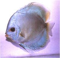 دیسکاس مرواریدی درخشنده (  Glowlite Pearl Discus)