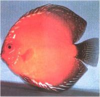 دیسکاس قهوه ای کبوتر نارنجی (Orange Pigeon Brown Discus)