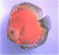 دیسکاس قرمز ماربورو (  Red Marlboro Discus)