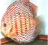 دیسکاس مرجانی قرمز (Red Coral Discus)