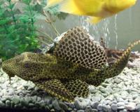 گربه ماهی (Plecostomus)