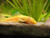 گربه ماهی آلبینو ( Albino Plecostomus)