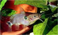 گربه ماهی تک خال (  One Spot Cat)