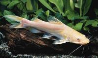 گربه ماهی میتوس آلبینو (Albino Mystus Catfish)