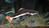 گربه ماهی دم قرمز (Redtail Cat)