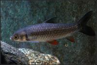 شارک طلایی (Golden Shark)