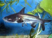 شارک تنه کوتاه باله بلند (Hi Fin Short Body Shark)