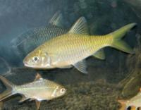     (yellow tail Tinfoil Barb)