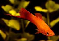 دم شمشیری پرتقالی (  Marigold Sword Tail)