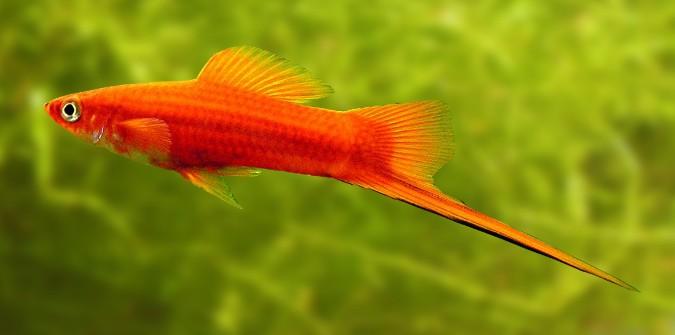 هم خانواده صلح پرورش و نگهداری ماهی های آکواریومی - نحوه نگهداري و تكثير ...