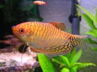   (Golden Gourami)