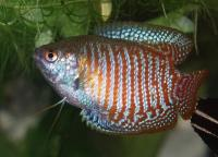    (Dwart Gourami Red)