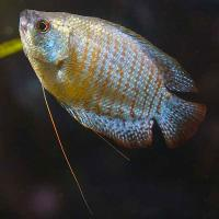    (Dwarf Gourami Blue)