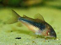   (Green Corydoras)