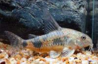   (Corydoras Palcatus)