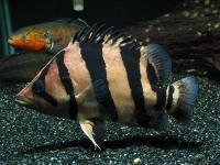 ماهی ببری معمولی (Common Tiger Fish)
