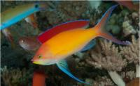 آنتیاس هلویی (Peach Anthias Male )