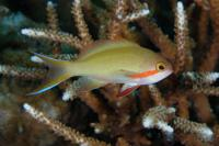 آنتیاس گونه سرخ (Redcheek Anthias Male)